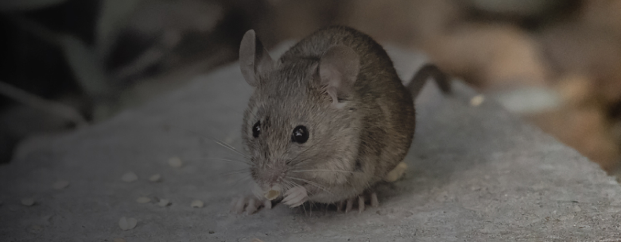 7 Tips on House Mouse Control